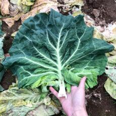 【観野菜】アフロキャベツ vol.1:廃棄野菜を探しに行こう!